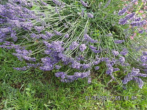 Fleurs-1er-Juillet-014.JPG