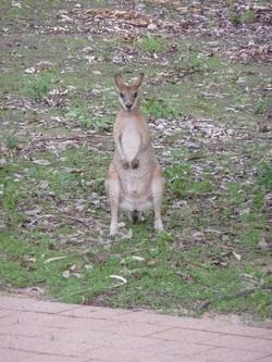 Arrivée au pays des kangourous