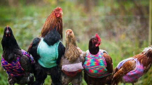 Une femme tricote de petits pulls en laine pour réchauffer ses poules pendant l'hiver