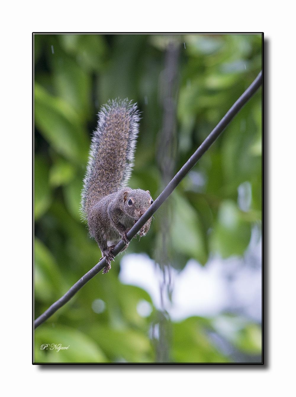 Écureuils équilibristes d'Izolwè