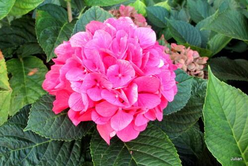 Des fleurs d'hortensia