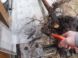 Transplantation d'un arbre.