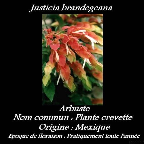 Justicia brandegeana