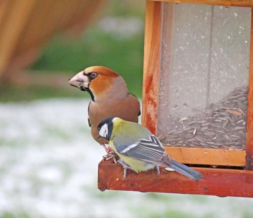 Oiseaux de mon jardin...