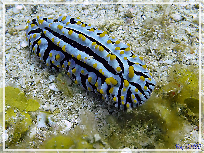 Nudibranche Phyllidie verruqueuse, Three colored phyllidia (Phyllidia varicosa) et Alcyonaire épineux contracté ? - Betaniazo - Tsarabanjina - Mitsio - Madagascar