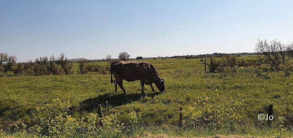 Vaches Bazadaises