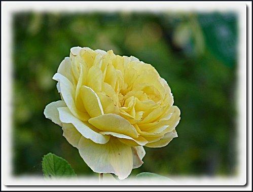 rose-roseraie-6.jpeg