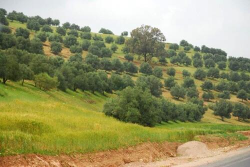 Encore des oliviers;..