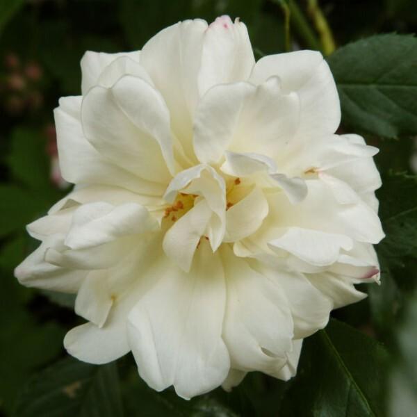 rosier-opalia---mai-2014.jpg
