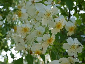 Autres roses blanches à l'ombre