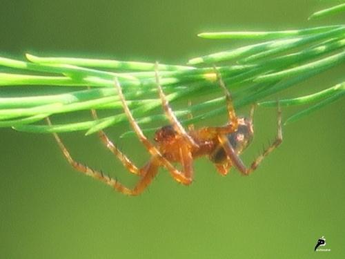 Araniella sp ; mâle