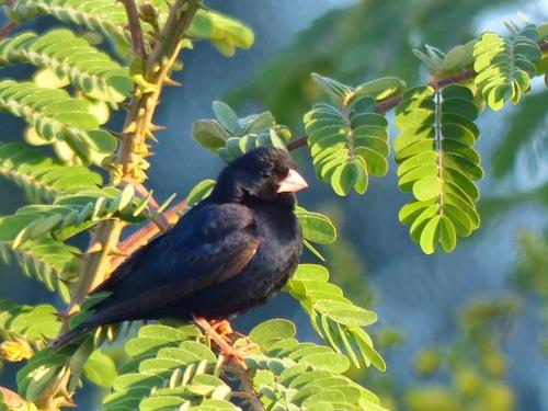 des oiseaux endémiques à cette région d'Afrique de l'est;