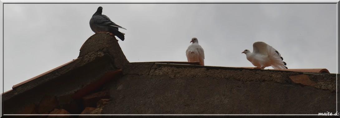 Pigeons blancs