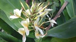 Hedychium Aurantiacum