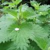 Urtica dioica-feuilles