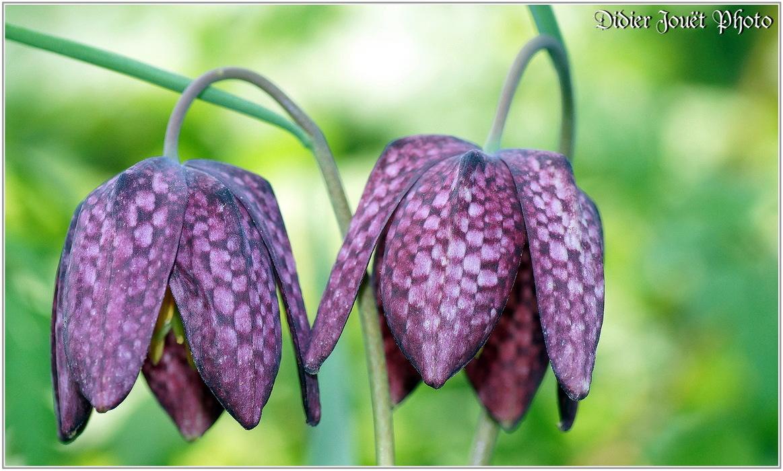 Fritillaire Pintade / Fritillaria meleagris