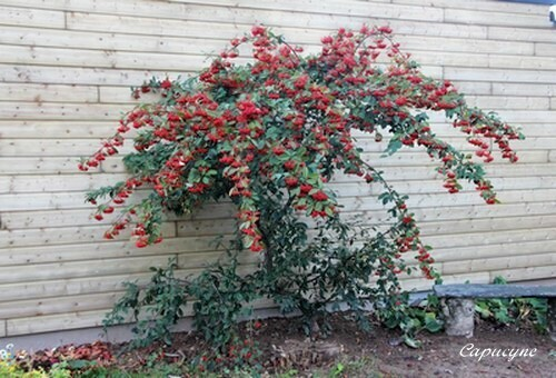 Cotoneaster 9397