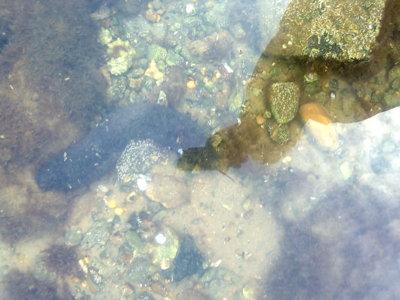 Blog de chipiron :Un chipiron dans les Landes, Concombre de mer