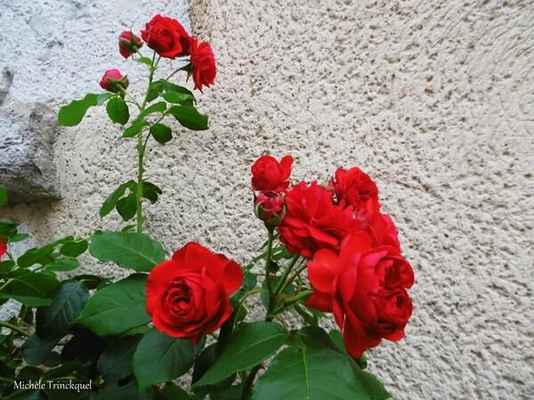 La Rose du samedi....