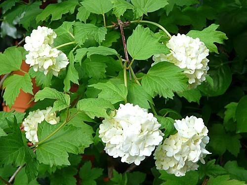 Viburnum-04-05-12-002.jpg