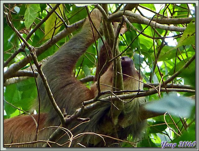 Blog de images-du-pays-des-ours : Images du Pays des Ours (et d'ailleurs ...), Résultat du contrôle final: je suis un UNAU, les mauvaises réponses sont pardonnées - Costa Rica
