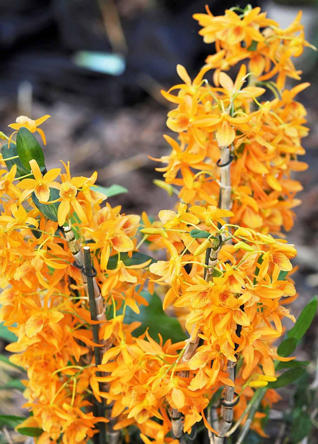 Exposition d'orchidées à Annequin (7)
