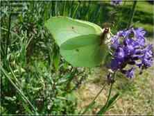 Papillons de jour Le Citron Gonepteryx rhamni