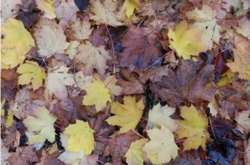 feuilles platane slc1024
