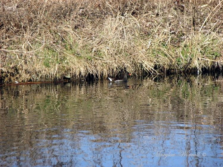 Colmar : Poules d'eau et ragondins