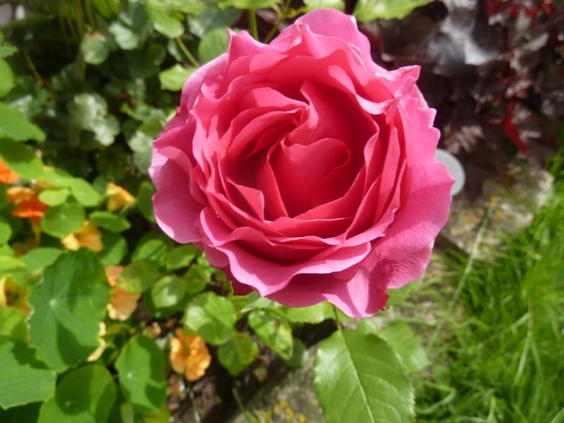 La rose ... son histoire ...