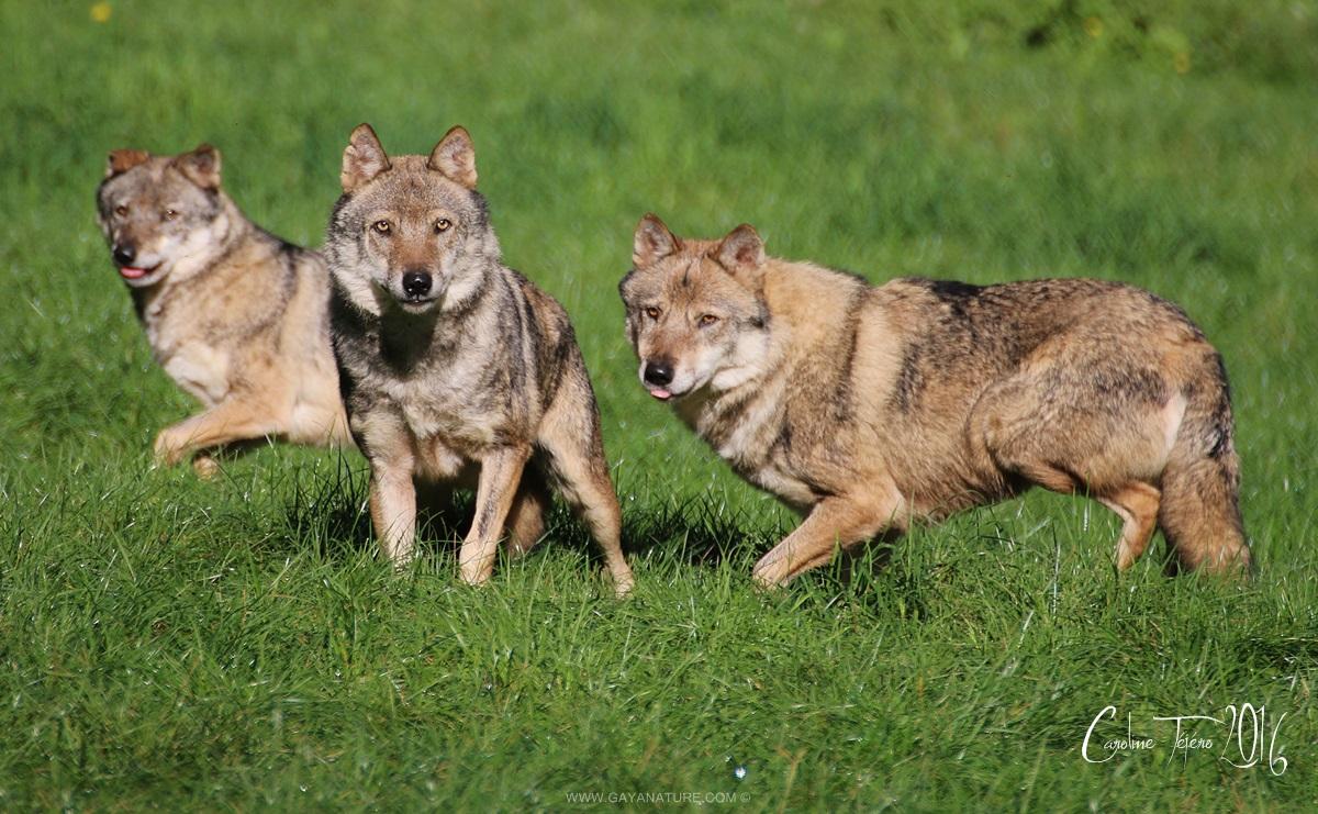 Loups gris européens