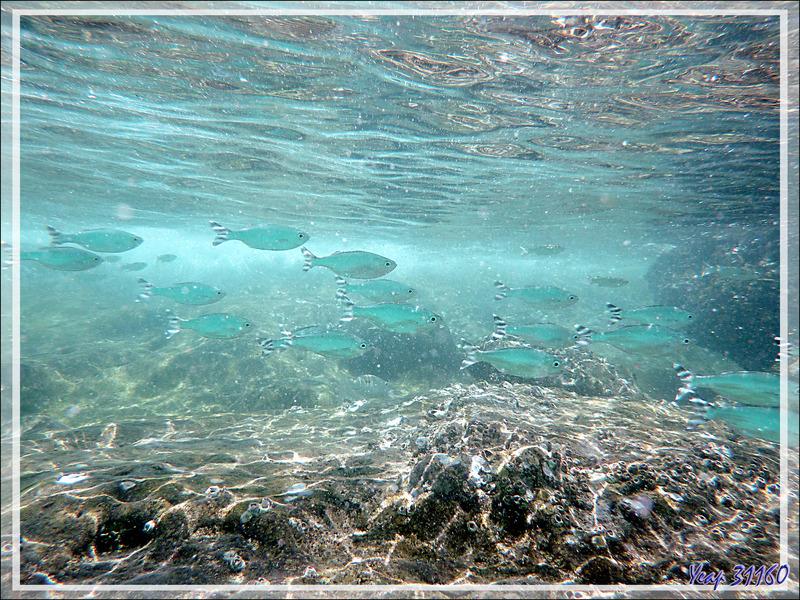 Snorkeling :  Poisson pavillon rayé, Doule de mer, Doule à queue rubannée, Mulet, Barred flagtail, Fiveband flagtail (Kuhlia mugil) - Nosy Tsarabanjina - Archipel Mitsio - Madagascar
