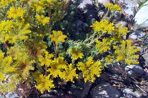 Sédum aux fleurs jaunes