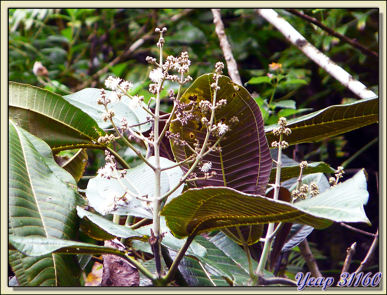 Miconia (Miconia calvescens) - Vallée de Papenoo - Tahiti - Polynésie française