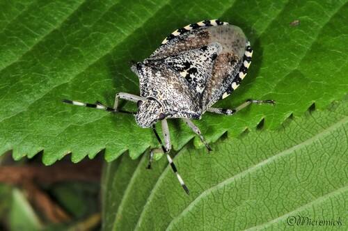 Punaise nébuleuse (Rhaphigaster nebulosa)