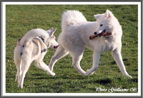 Husky et autres races de chien