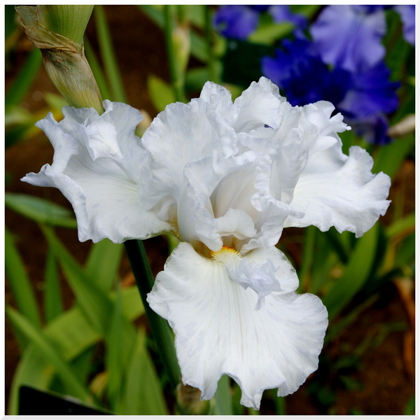Iris au jardin des plantes 2017-1