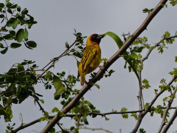 un tisserin jaune