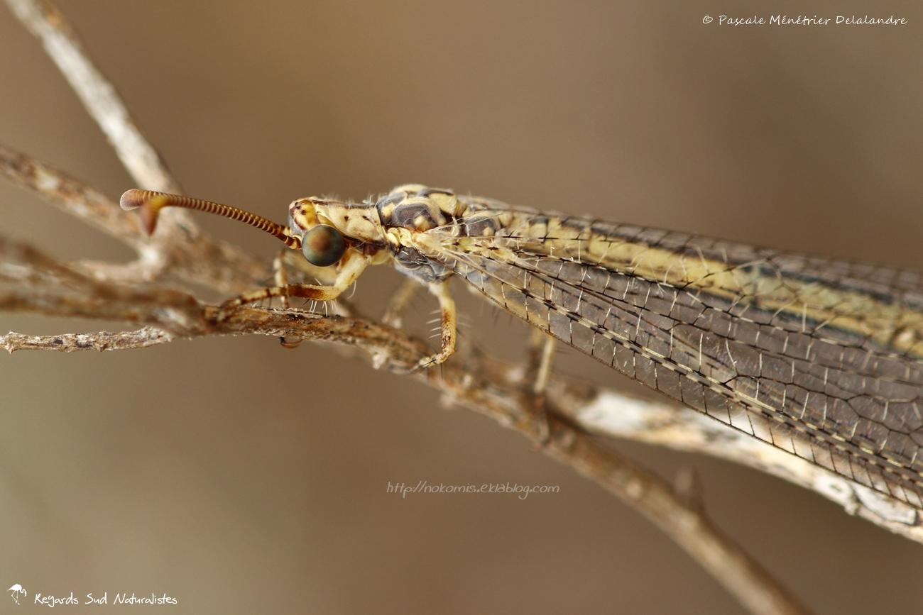 Fourmilion ♀  - Macronemurus appendiculatus