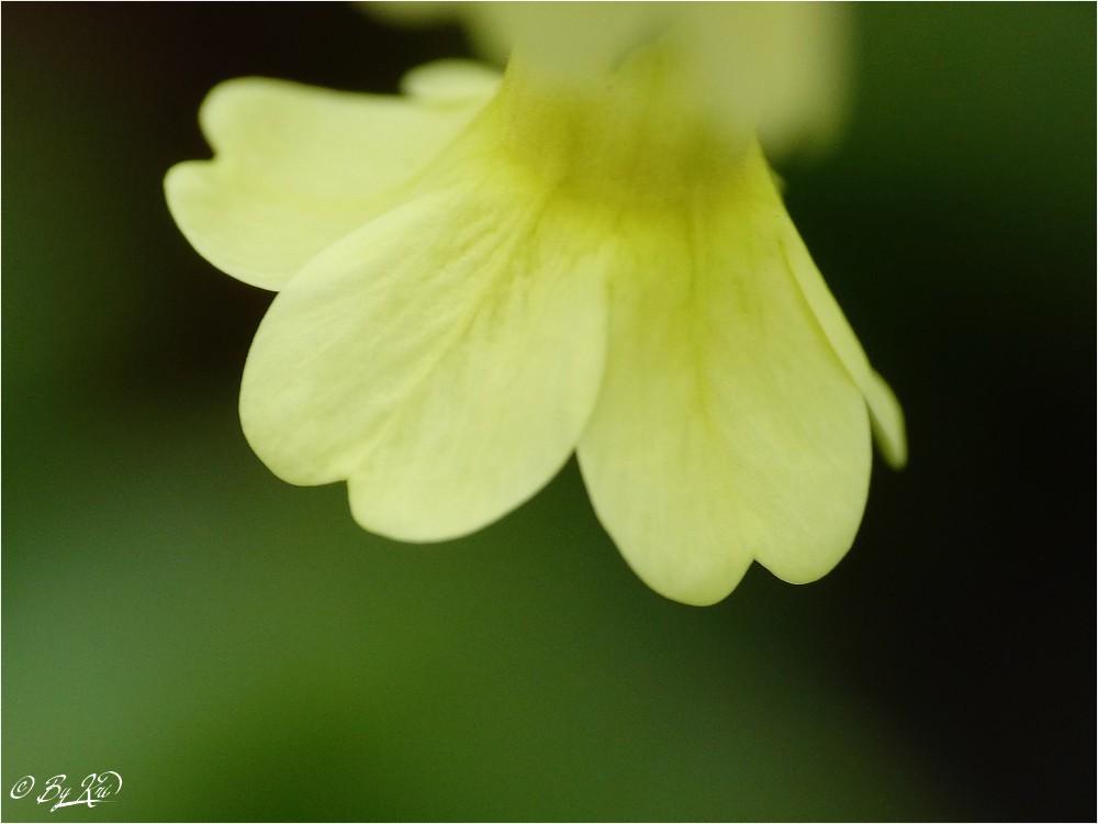 La Primevère Officinale ( Primula Veris ) ...