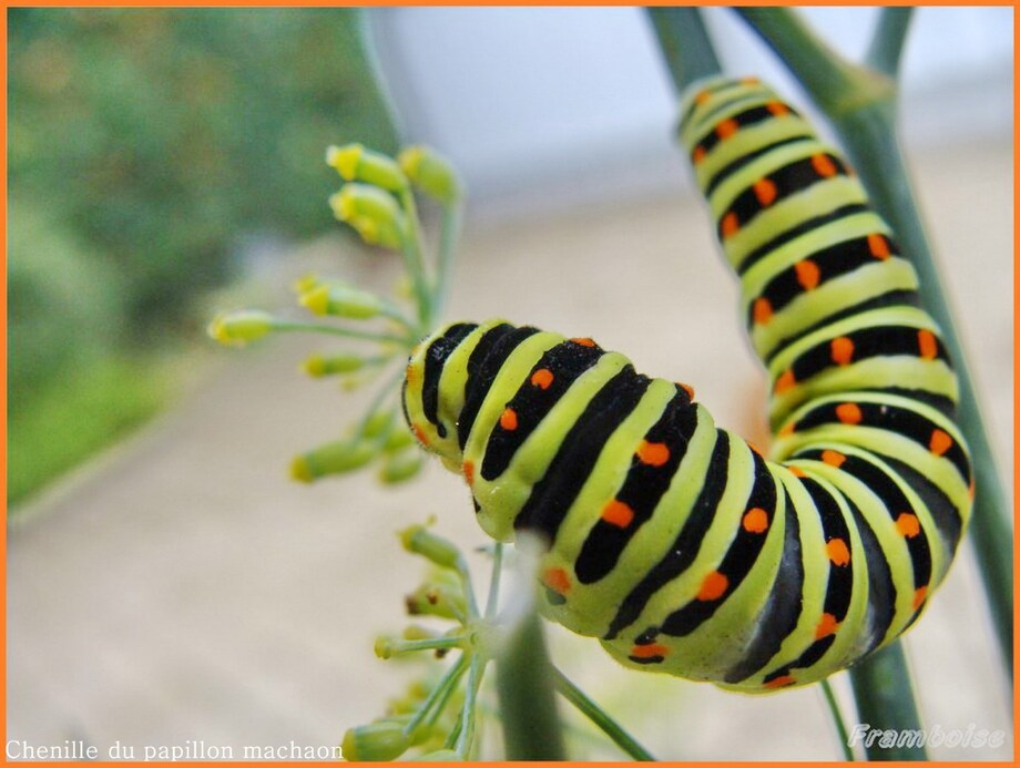 Chenille du Machaon