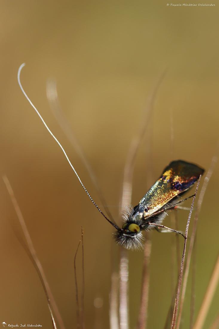 Nemophora fasciella  ♀