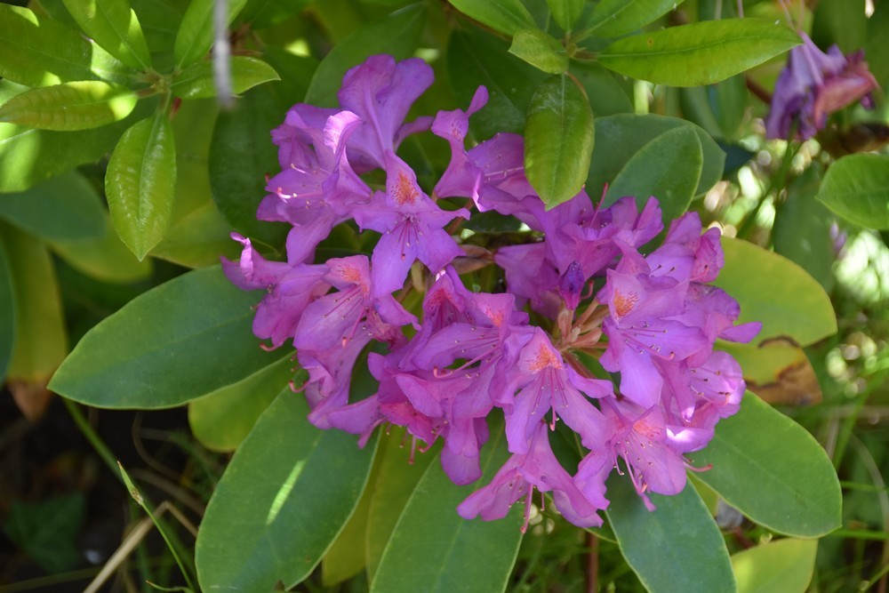 Le rhododendron du jardin - mai 2019...