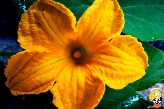 Curcubitaceae ?
