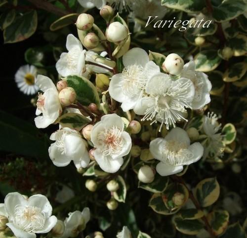 myrtus-variegata