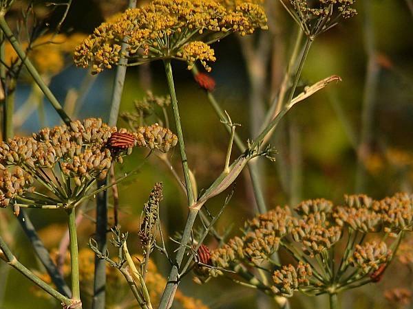 Punaise rayée-fenouil