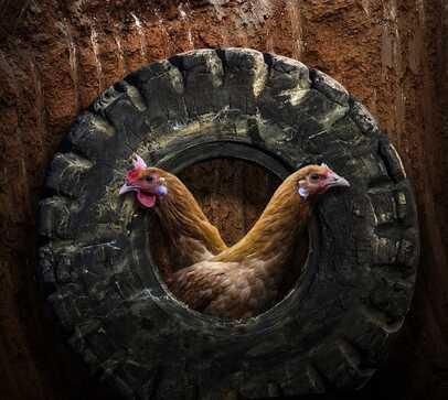 03- Portraits de poules en couleurs