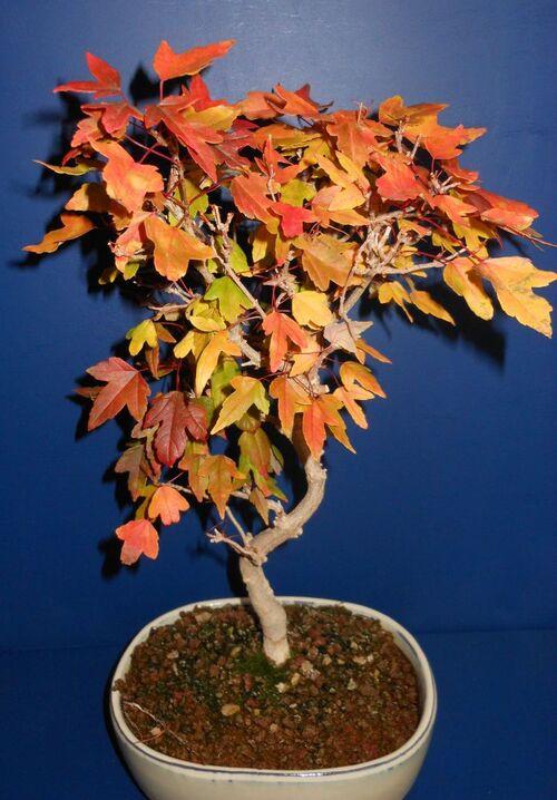 Les bonsais et l'automne
