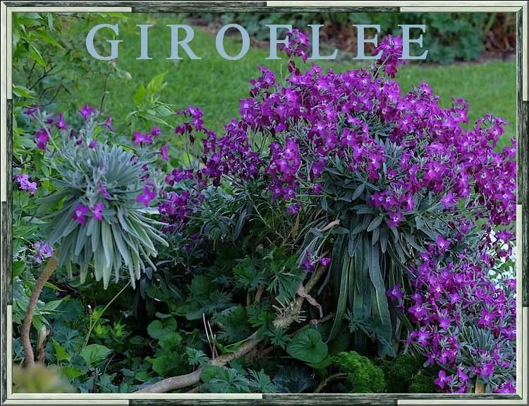 Fleurs sauvages et cultivées : Giroflée