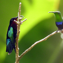 Conversation avec un colibri falle vert - Photo ; Yvon